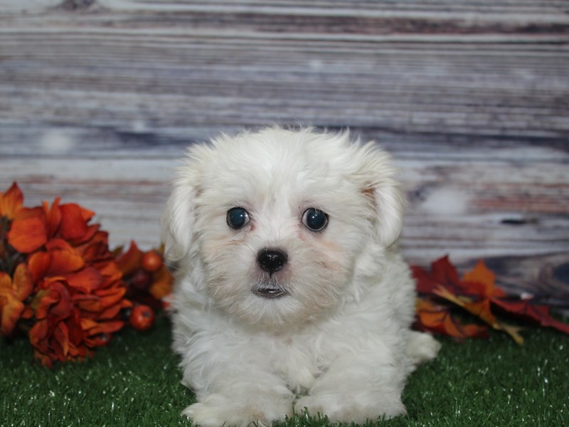 Teddy Bear-Male-WHT-2855997-Pet City Houston
