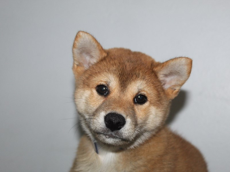 Shiba Inu-Male-RED-2863037-Pet City Houston