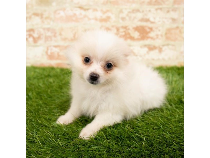 Pomeranian-Female-Cream-2865454-Pet City Houston