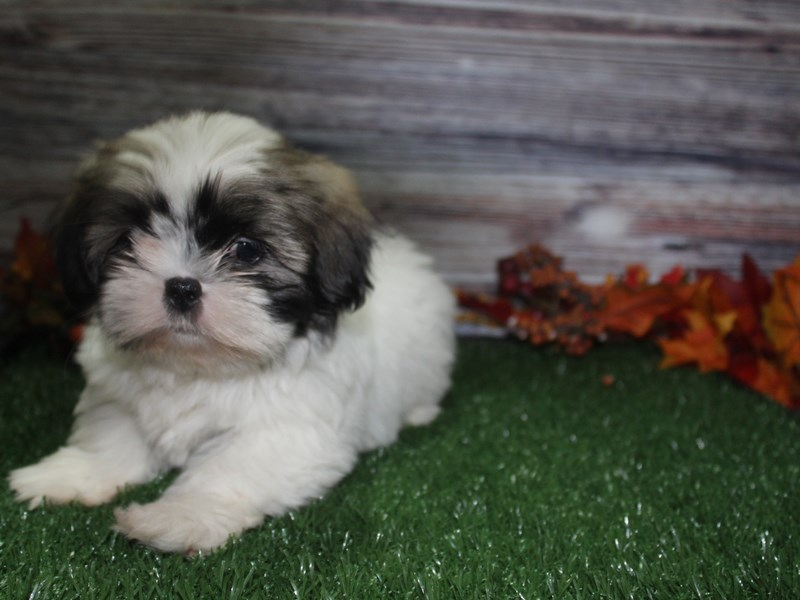 Shih Tzu-Male-Tri-2869006-Pet City Houston
