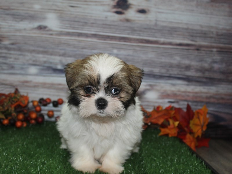 Shih Tzu-Female-Tri-2869003-Pet City Houston