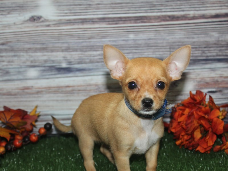 Chihuahua-Male-RED-2870321-Pet City Houston