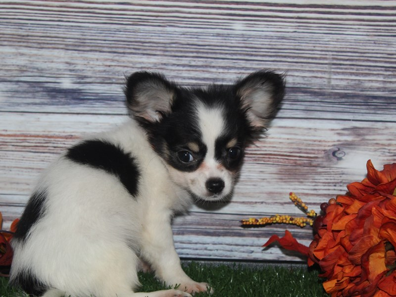 Chihuahua-Female-BLK/ WHT-2870315-Pet City Houston