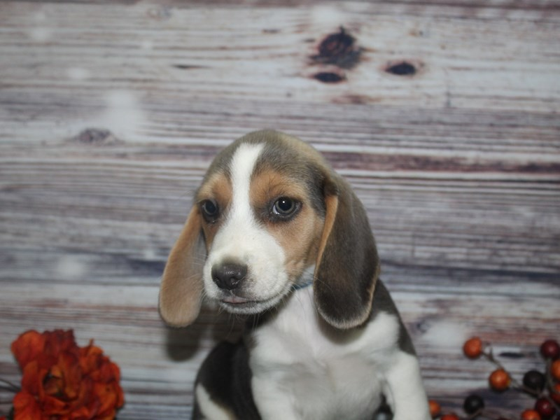 Beagle-Male-GRAY & WHITE-2870277-Pet City Houston