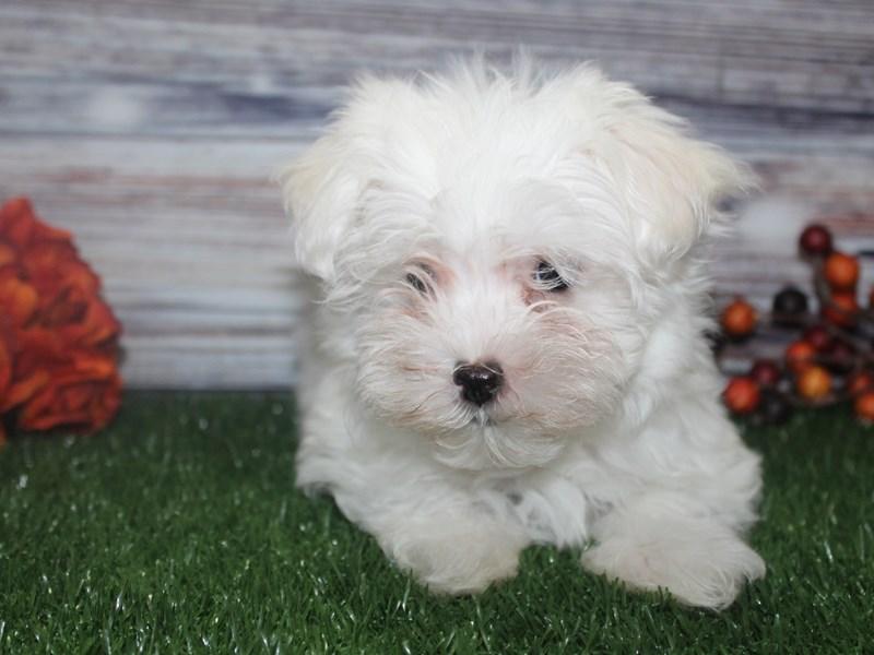 Maltese-Female-WHITE-2869009-Pet City Houston
