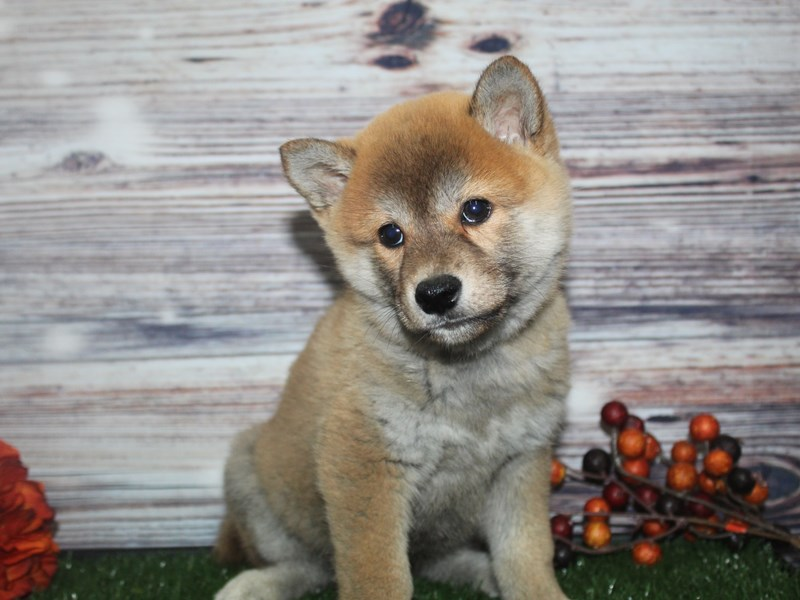 Shiba Inu-Male-RED-2870251-Pet City Houston