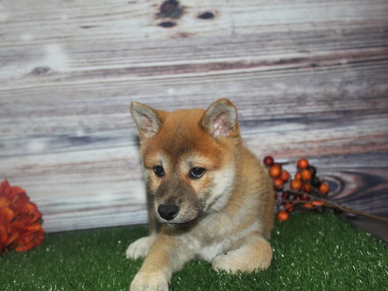 Shiba Inu-Male-RED-2870219-Pet City Houston