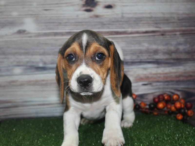 Beagle-Female-TRI-2869127-Pet City Houston
