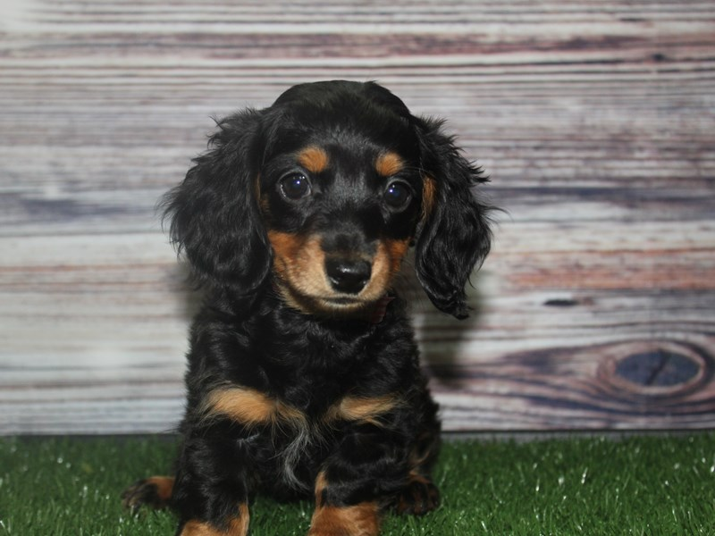 Miniature Dachshund-Female-BLK AND TAN-2877684-Pet City Houston