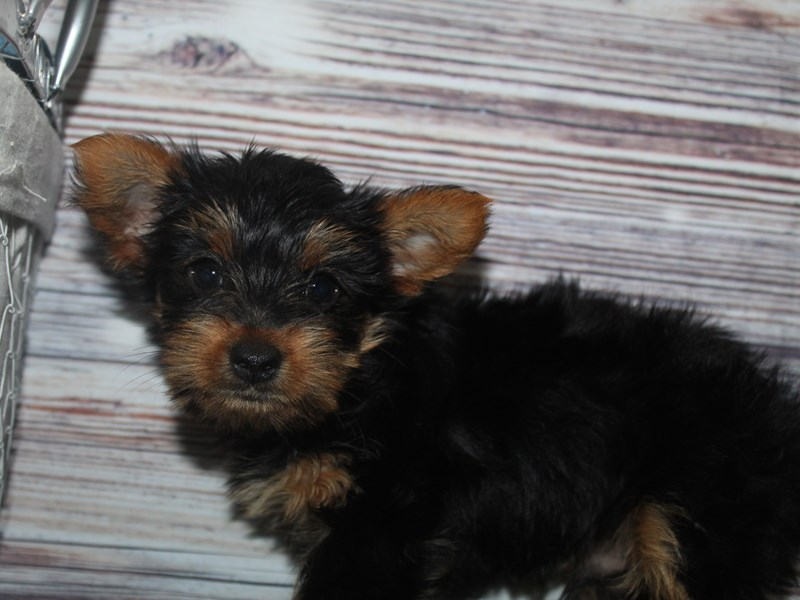 Yorkshire Terrier-Male-BLK/ TAN-2883005-Pet City Houston