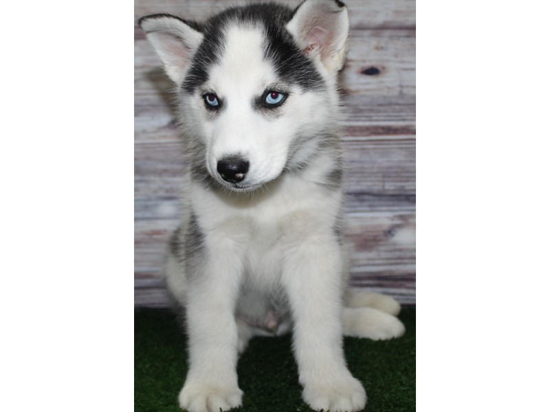 Siberian Husky-Male-Blk/ Wht-2885154-Pet City Houston