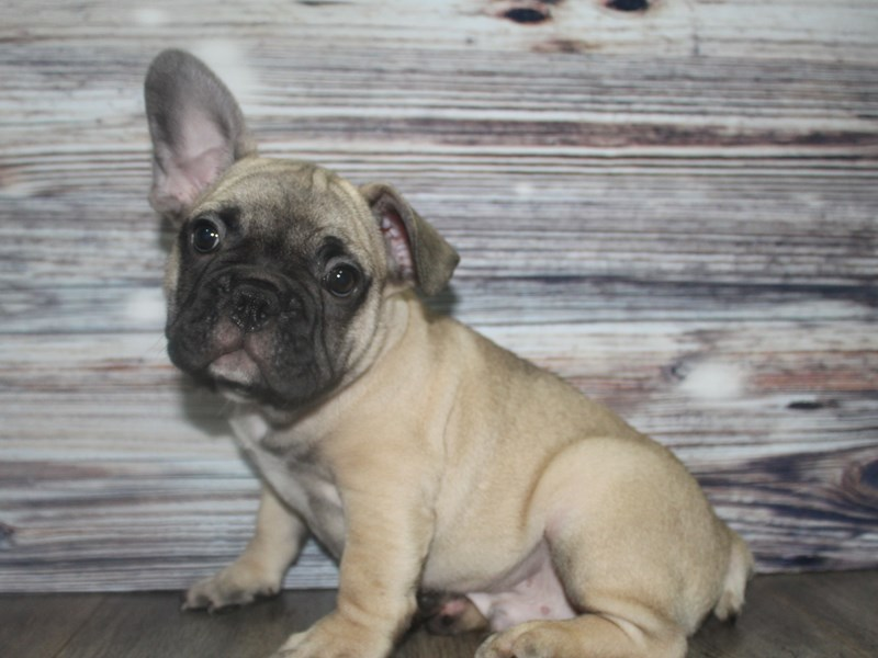 French Bulldog-Male-Blue Fawn-2802176-Pet City Houston