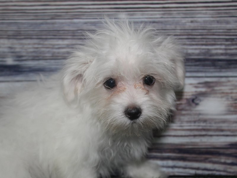 Maltese-Male-WHITE-2819556-Pet City Houston
