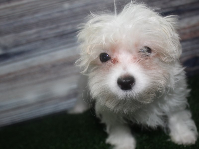 Maltese-Male-WHITE-2819548-Pet City Houston