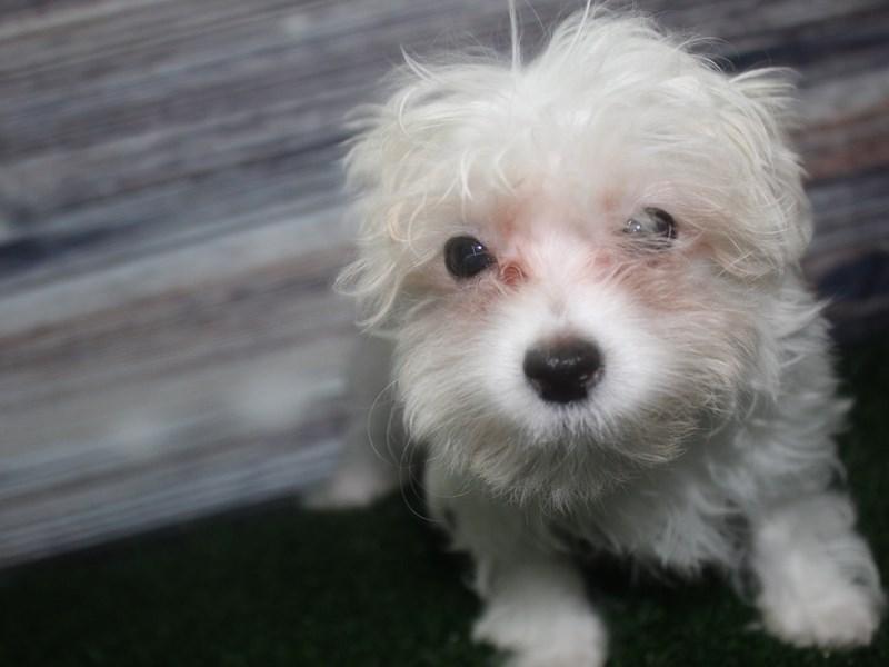 Maltese-Male-WHITE-2819548-Pet City Houston