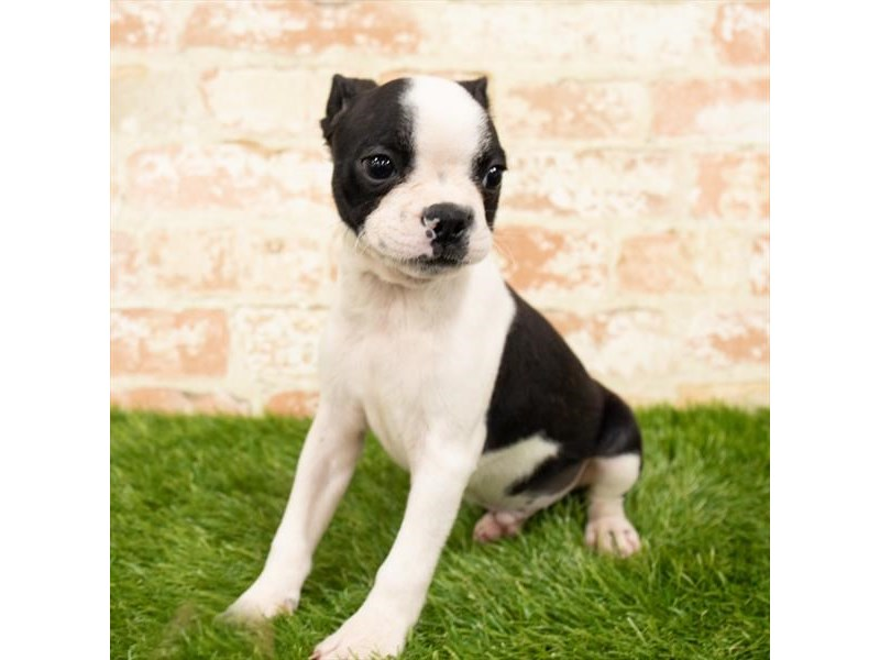 Boston Terrier-Male-Black / White-2869386-Pet City Houston