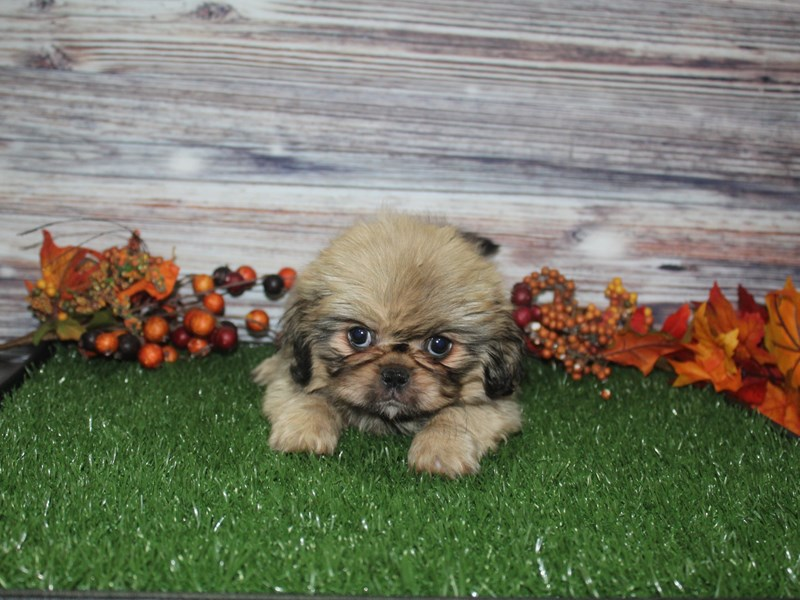 Pekingese-Female-Brown-2869035-Pet City Houston