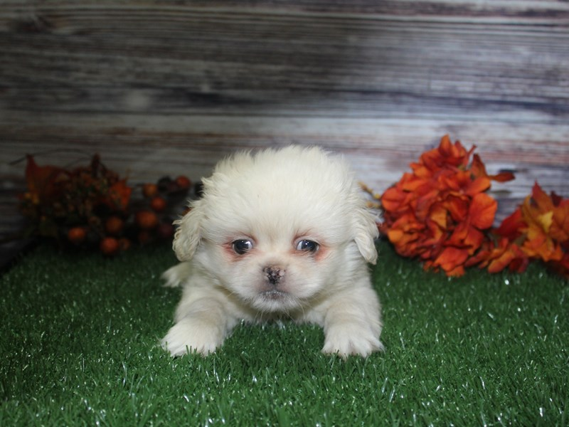 Pekingese-Male-CREAM-2869043-Pet City Houston
