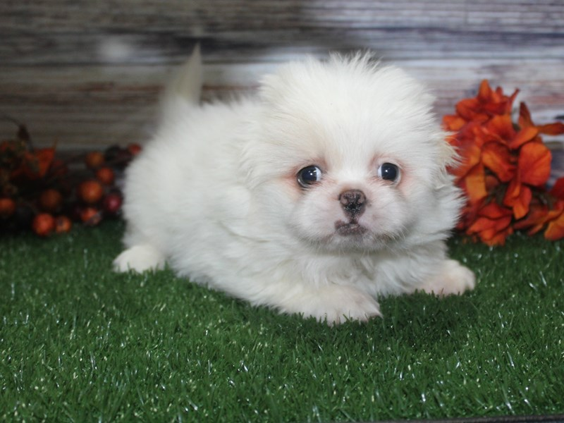 Pekingese-Female-CREAM-2869026-Pet City Houston