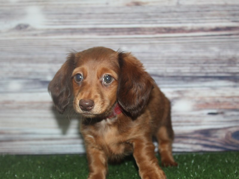 Miniature Dachshund-Female-RED-2877655-Pet City Houston