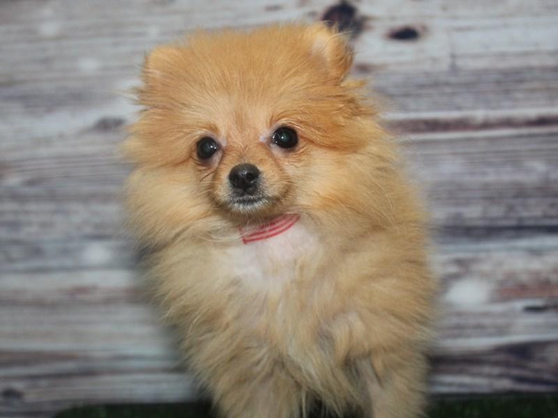Pomeranian-Female-ORANGE-2877621-Pet City Houston
