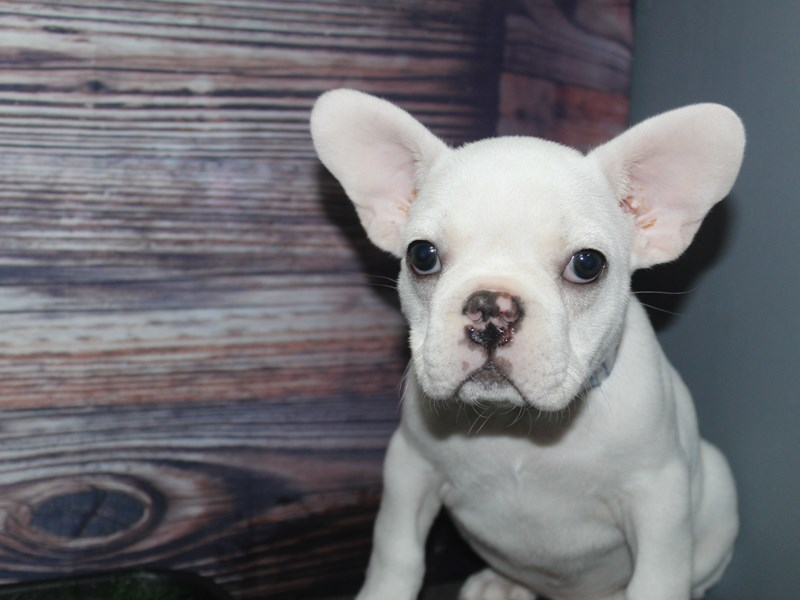 French Bulldog-Male-Cream / White-2877313-Pet City Houston