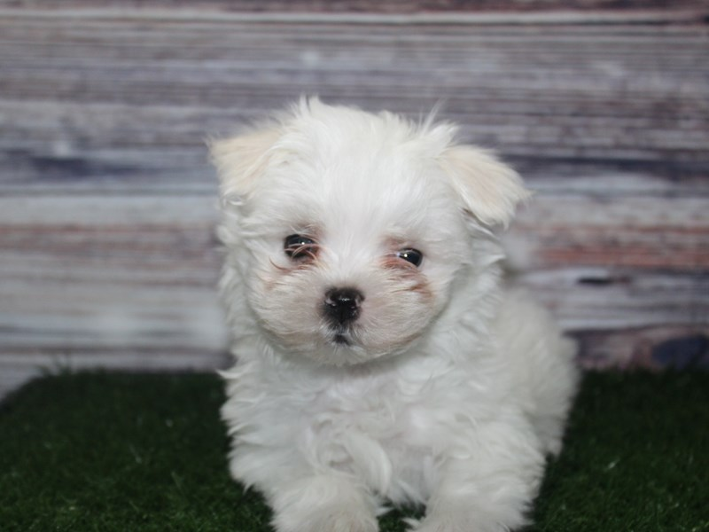 Maltese-Male-WHITE-2882963-Pet City Houston