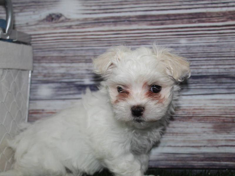 Maltese-Male-White-2882946-Pet City Houston
