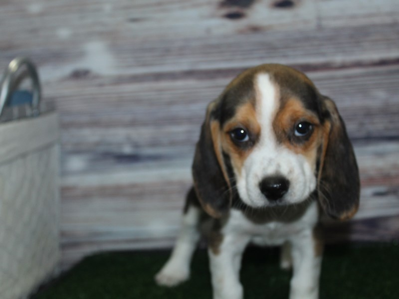 Beagle-Female-TRI-2882921-Pet City Houston