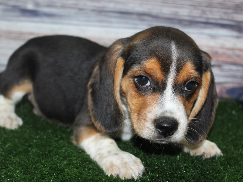 Beagle-Male-TRI-2882915-Pet City Houston