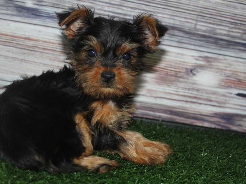 Yorkshire Terrier-Female-BLK/ TAN-2883007-Pet City Houston