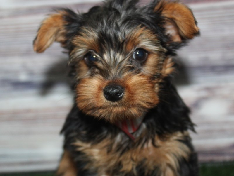 Yorkshire Terrier-Female-BLK/ TAN-2883006-Pet City Houston