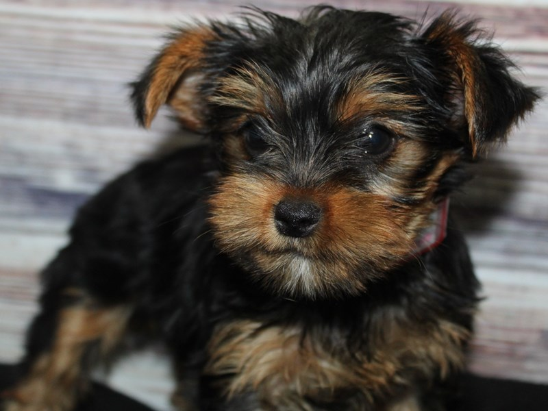 Yorkshire Terrier-Female-BLK/ TAN-2883008-Pet City Houston