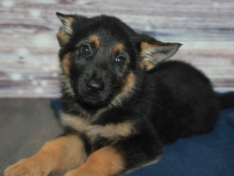 German Shepherd-Female-BLK/TAN-2883024-Pet City Houston