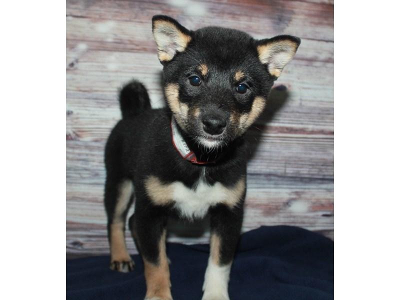 Shiba Inu-Female-BLK/TAN-2884350-Pet City Houston