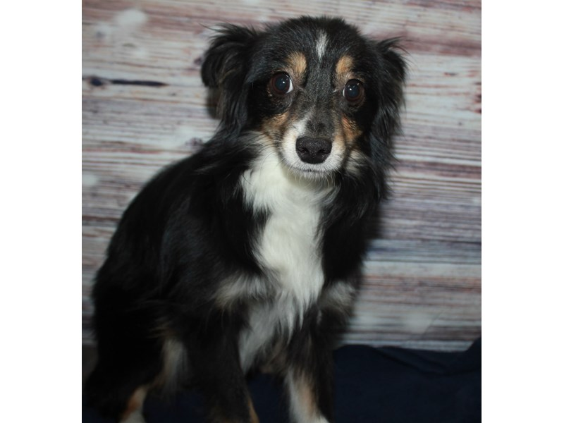Miniature Australian Shepherd-Male-BLK WHT-2877576-Pet City Houston