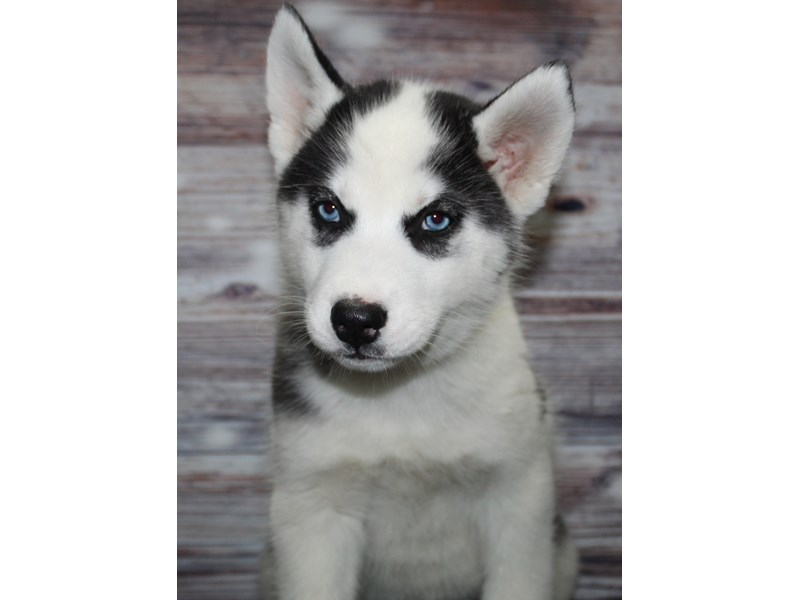 Siberian Husky-Female-Blk/ Wht-2885167-Pet City Houston