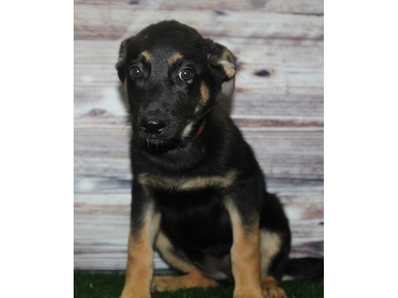 German Shepherd-Female-BLK/TAN-2883048-Pet City Houston