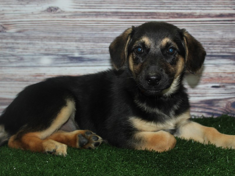 German Shepherd-Female-BLK/TAN-2883035-Pet City Houston