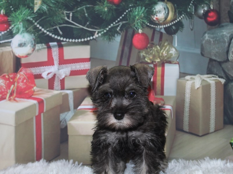 Miniature Schnauzer-Female-BLK SLV-2891006-Pet City Houston