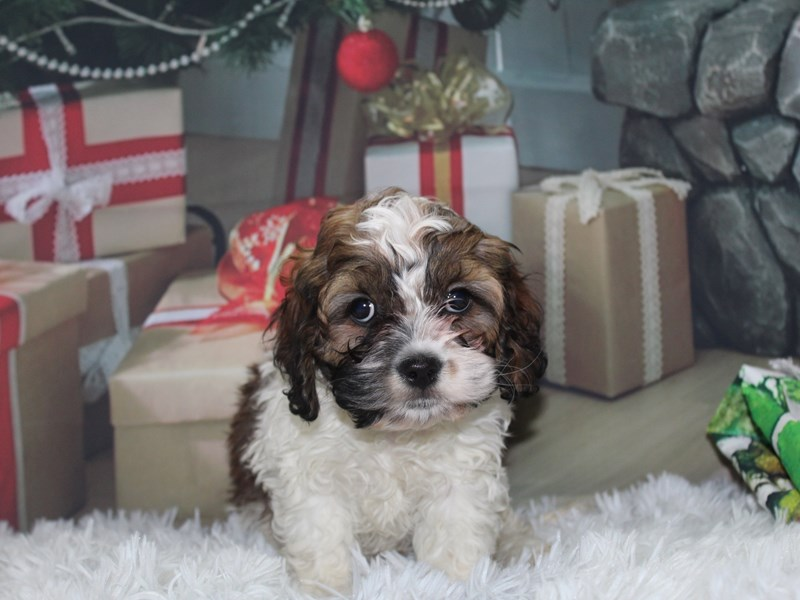 Cockapoo-Female-CHOC WHT-2891012-Pet City Houston