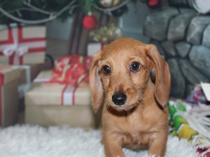 Miniature Dachshund-Male-Red-2891542-Pet City Houston