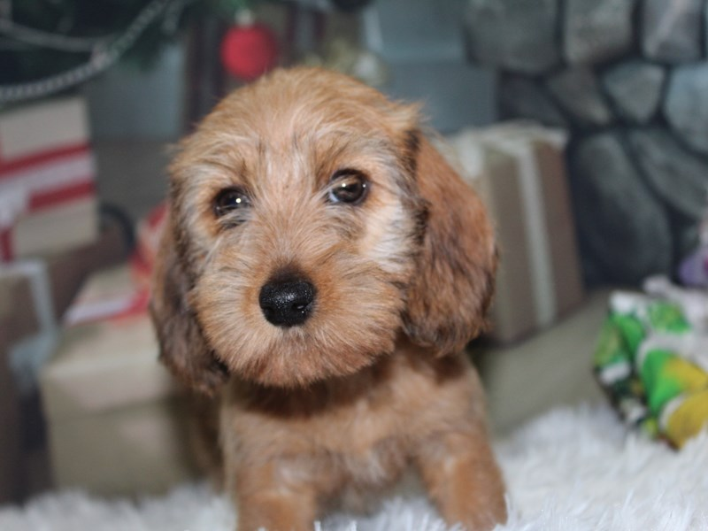 Miniature Dachshund-Female-Wheaten-2891545-Pet City Houston