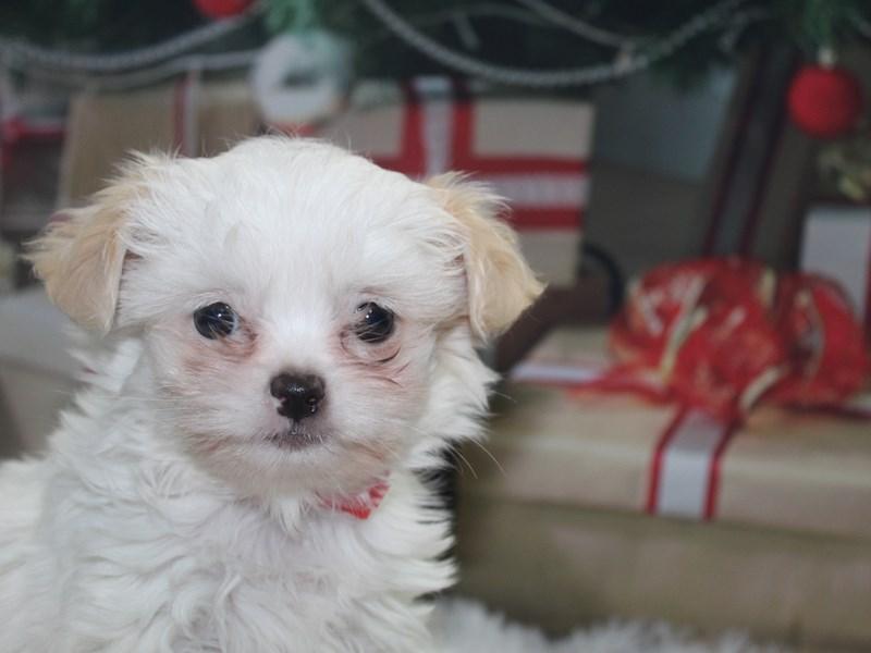 Chi Tzu-Female-White-2891900-Pet City Houston