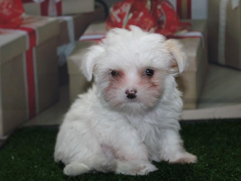 Chi Tzu-Male-White-2891907-Pet City Houston