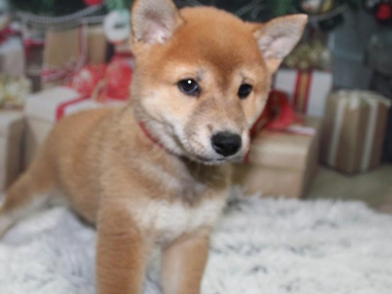 Shiba Inu-Female-Red-2897654-Pet City Houston