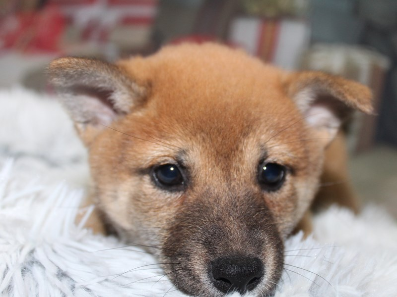 Shiba Inu-Female-Red-2897660-Pet City Houston