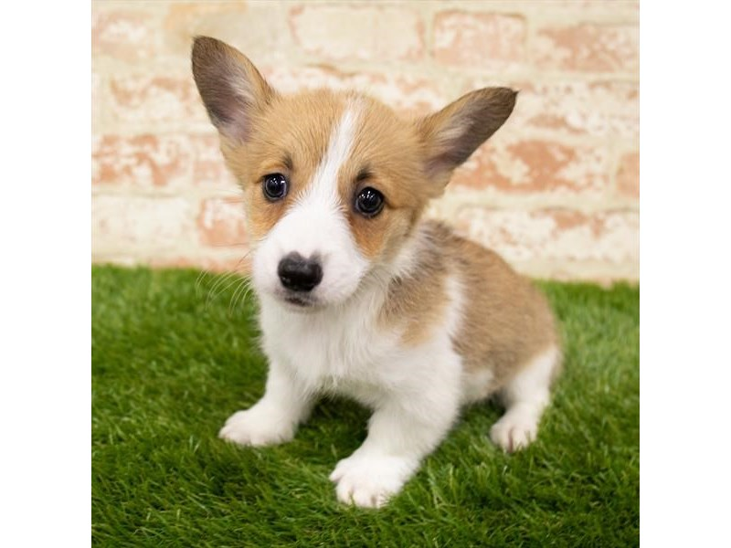 Pembroke Welsh Corgi-Female-Red Sable-2903960-Pet City Houston