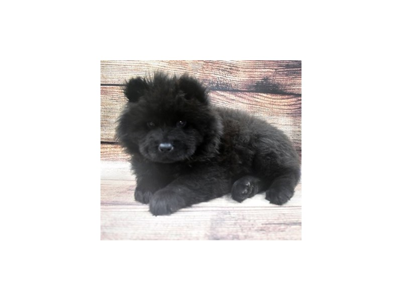 Chow Chow-Female-Black-2905202-Pet City Houston
