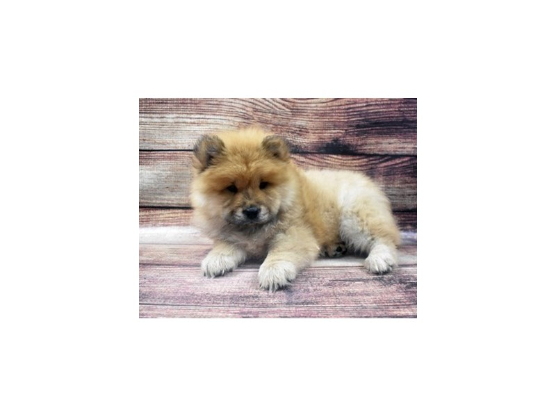 Chow Chow-Male-Red-2905203-Pet City Houston
